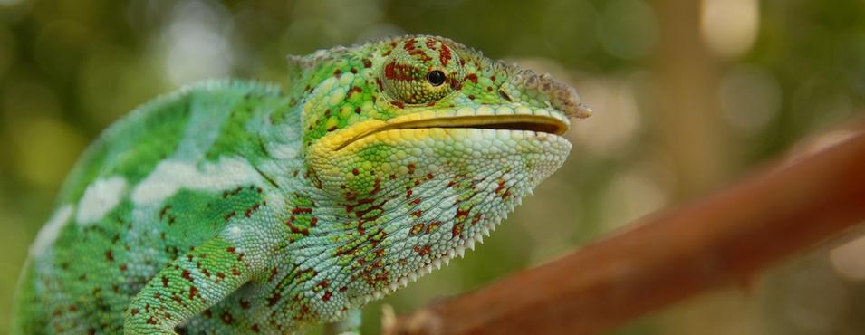 kameleon_Madagaskar